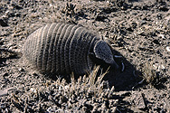 Armadillo in the Pampa