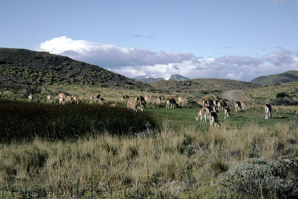 Herd of Guanacos in the national park